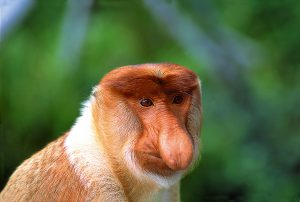 The bizarre Proboscis monkey can be found along the Kinabatangan and Klias rivers