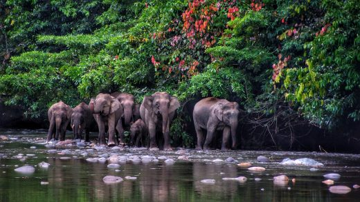 Borneo Pygmy Elephants at Danum Valley
